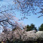 満開の桜を見て心配に思ったこと